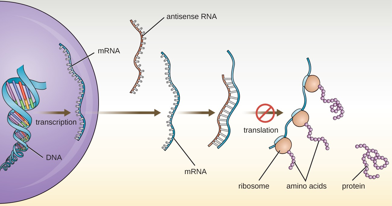 Cells like the eukaryotic cell shown in this diagram commonly make small antisense RNA molecules with sequences complementary to specific mRNA molecules. When an antisense RNA molecule is bound to an mRNA molecule, the mRNA can no longer be used to direct protein synthesis.