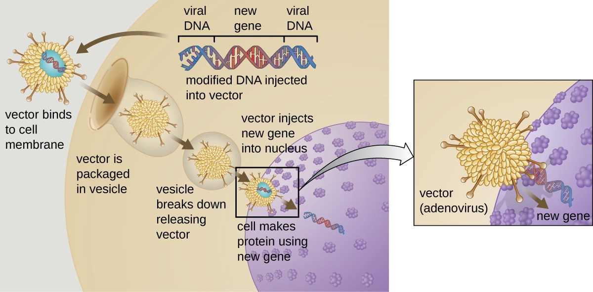 Gene therapy using an adenovirus vector can be used to treat or cure certain genetic diseases in which a patient has a defective gene.