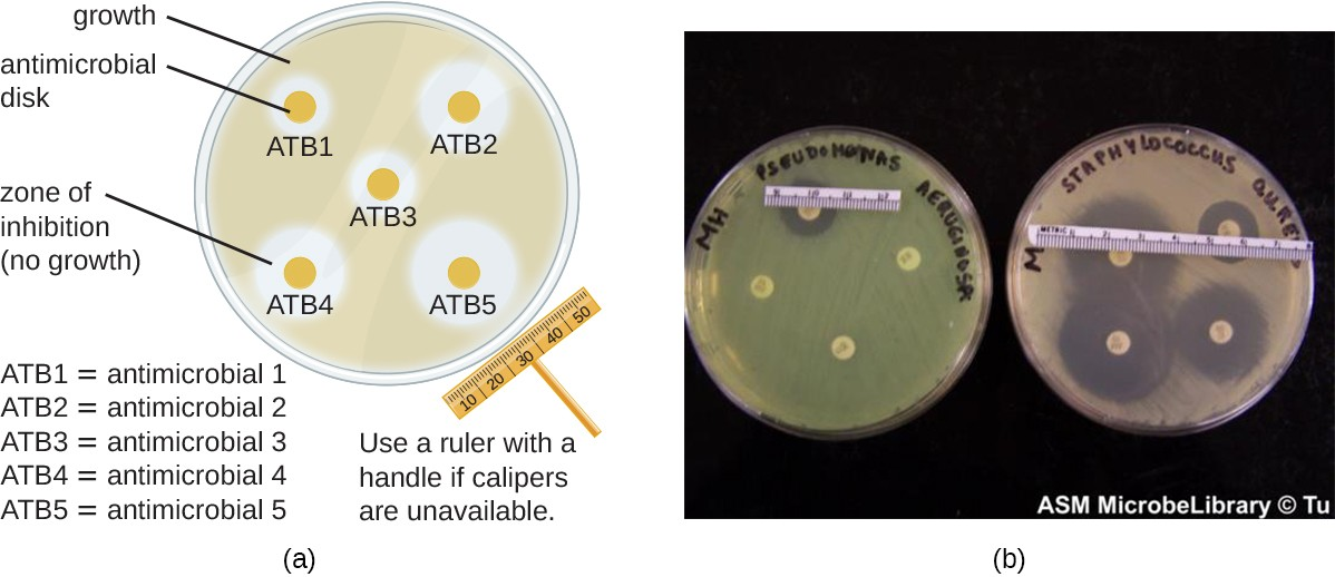 A disk-diffusion assay is used to determine the effectiveness of chemical agents against a particular microbe. (a) A plate is inoculated with various antimicrobial discs. The zone of inhibition around each disc indicates how effective that antimicrobial is against the particular species being tested. (b) On these plates, four antimicrobial agents are tested for efficacy in killing Pseudomonas aeruginosa (left) and Staphylococcus aureus (right). These antimicrobials are much more effective at killing S. aureus, as indicated by the size of the zones of inhibition.