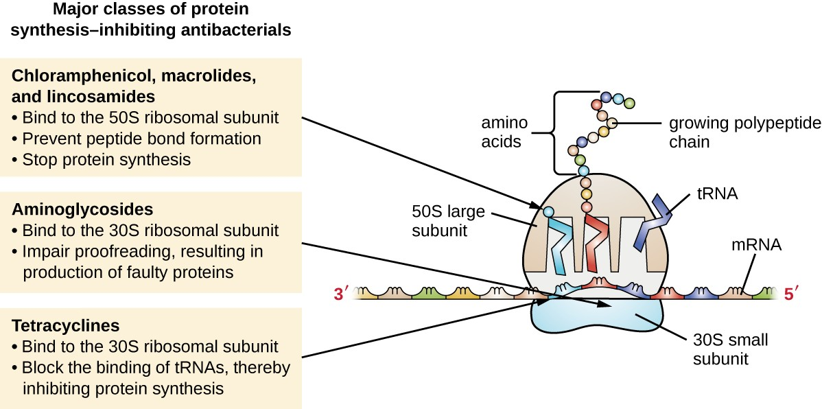 The major classes of protein synthesis inhibitors target the 30S or 50S subunits of cytoplasmic ribosomes.