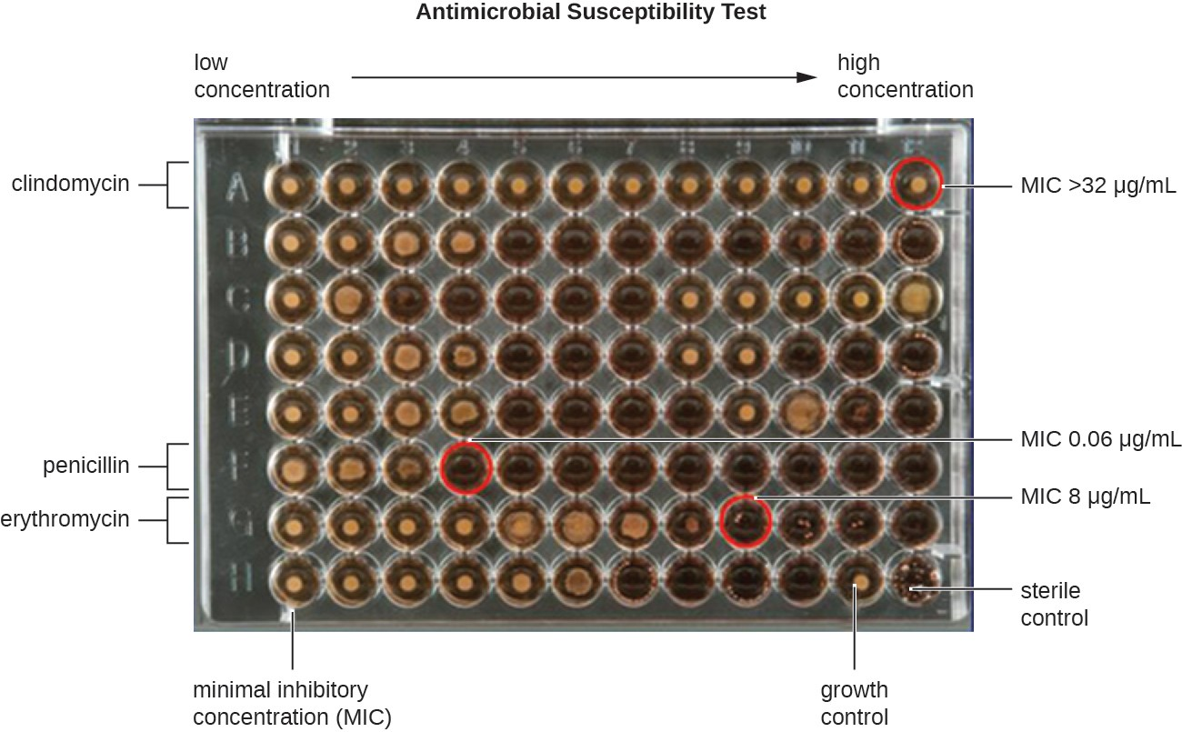A microdilution tray can also be used to determine MICs of multiple antimicrobial drugs in a single assay. In this example, the drug concentrations increase from left to right and the rows with clindamycin, penicillin, and erythromycin have been indicated to the left of the plate. For penicillin and erythromycin, the lowest concentrations that inhibited visible growth are indicated by red circles and were 0.06 μg/mL for penicillin and 8 μg/ mL for erythromycin. For clindamycin, visible bacterial growth was observed at every concentration up to 32 μg/mL and the MIC is interpreted as >32 μg/mL.