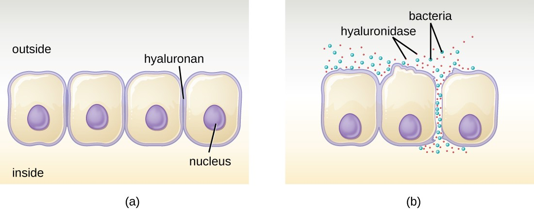 (a) Hyaluronan is a polymer found in the layers of epidermis that connect adjacent cells. (b) Hyaluronidase produced by bacteria degrades this adhesive polymer in the extracellular matrix, allowing passage between cells that would otherwise be blocked.
