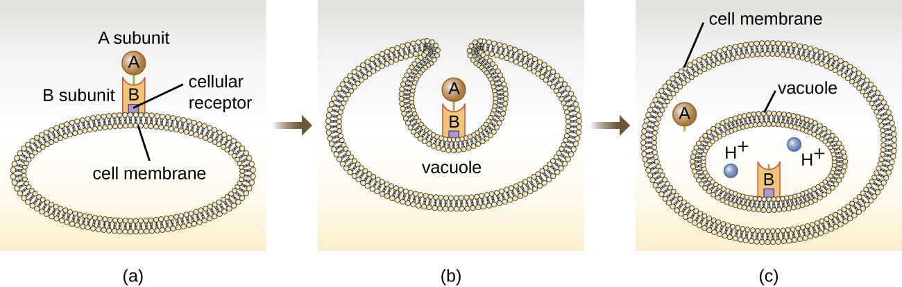 (a) In A-B toxins, the B component binds to the host cell through its interaction with specific cell surface receptors. (b) The toxin is brought in through endocytosis. (c) Once inside the vacuole, the A component (active component) separates from the B component and the A component gains access to the cytoplasm.