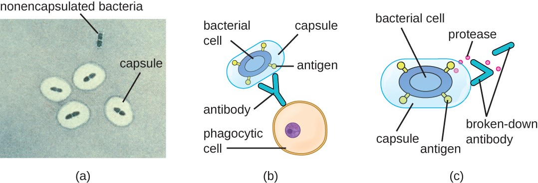 (a) A micrograph of capsules around bacterial cells. (b) Antibodies normally function by binding to antigens, molecules on the surface of pathogenic bacteria. Phagocytes then bind to the antibody, initiating phagocytosis. (c) Some bacteria also produce proteases, virulence factors that break down host antibodies to evade phagocytosis.