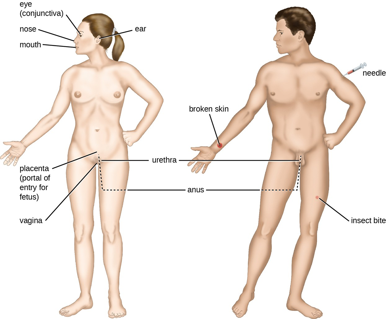 Shown are different portals of entry where pathogens can gain access into the body. With the exception of the placenta, many of these locations are directly exposed to the external environment.