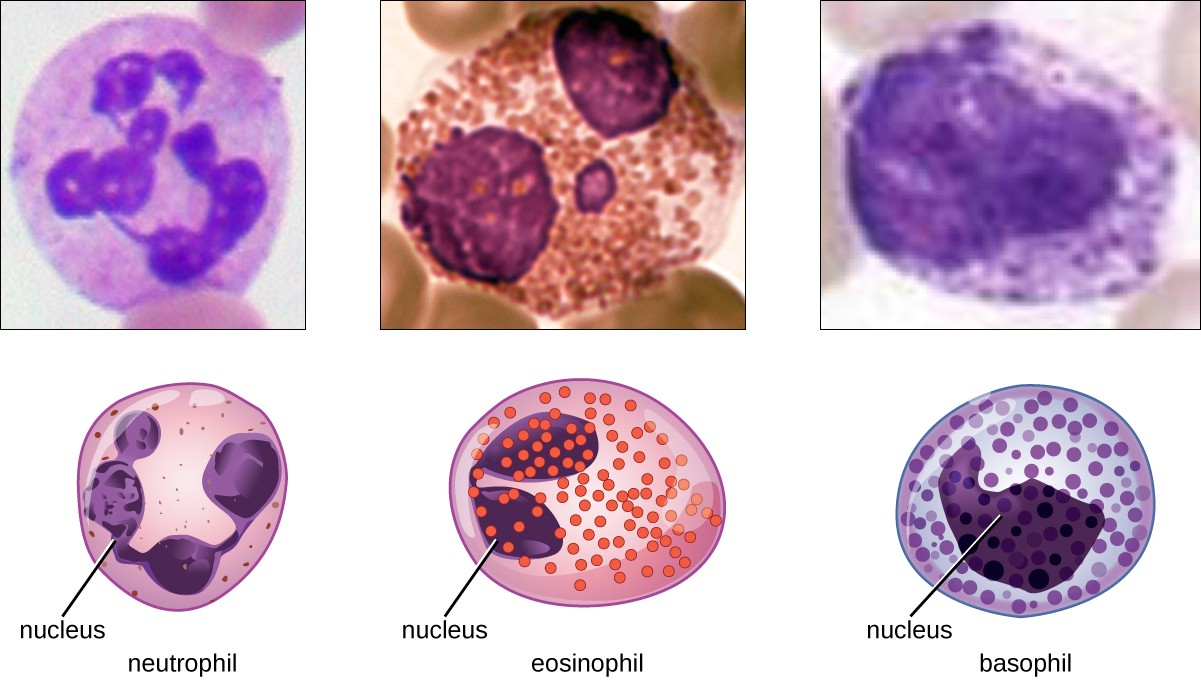 Granulocytes can be distinguished by the number of lobes in their nuclei and the staining properties of their granules.