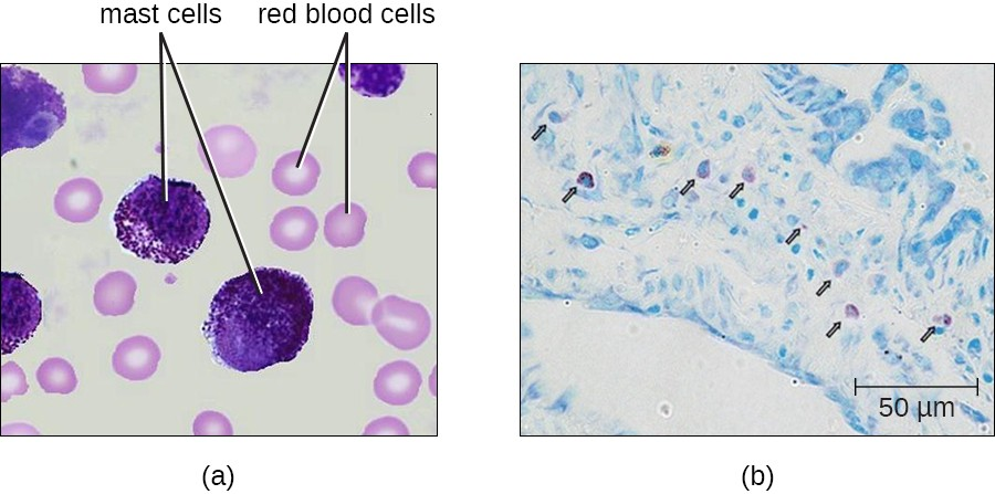 Mast cells function similarly to basophils by inducing and promoting inflammatory responses. (a) This figure shows mast cells in blood. In a blood smear, they are difficult to differentiate from basophils (b). Unlike basophils, mast cells migrate from the blood into various tissues.