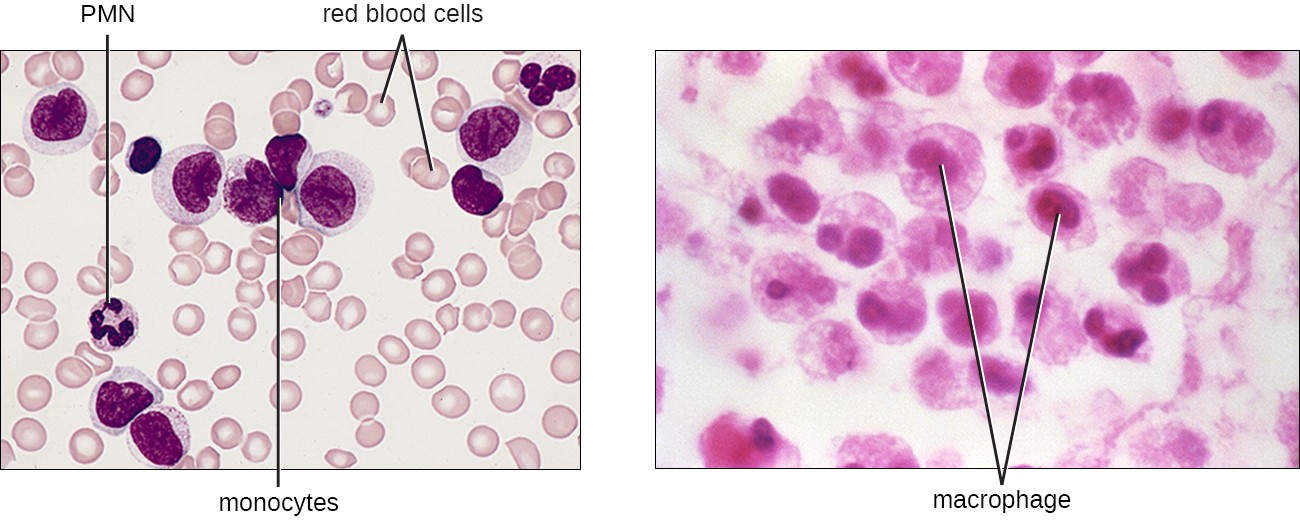 Monocytes are large, agranular white blood cells with a nucleus that lacks lobes. When monocytes leave the bloodstream, they differentiate and become macrophages with tissue-specific properties.