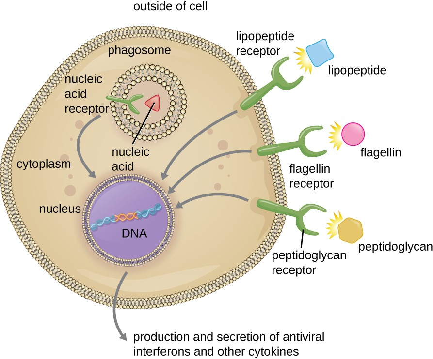 Phagocytic cells contain pattern recognition receptors (PRRs) capable of recognizing various pathogen-associated molecular patterns (PAMPs). These PRRs can be found on the plasma membrane or in internal phagosomes. When a PRR recognizes a PAMP, it sends a signal to the nucleus that activates genes involved in phagocytosis, cellular proliferation, production and secretion of antiviral interferons and proinflammatory cytokines, and enhanced intracellular killing.