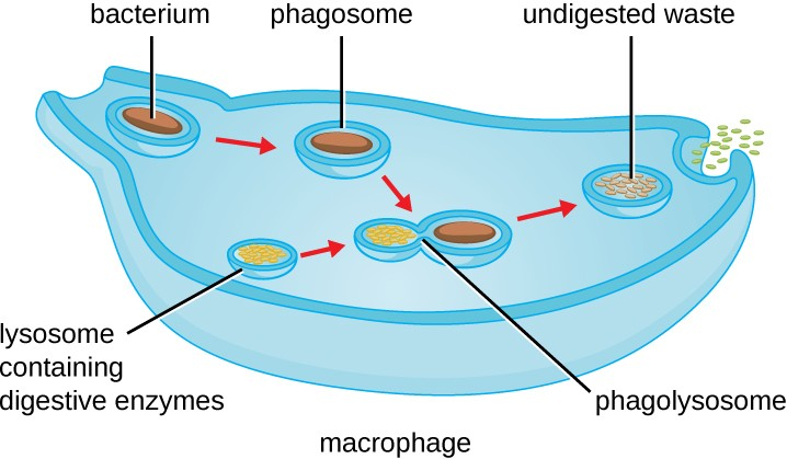 The stages of phagocytosis include the engulfment of a pathogen, the formation of a phagosome, the digestion of the pathogenic particle in the phagolysosome, and the expulsion of undigested materials from the cell.