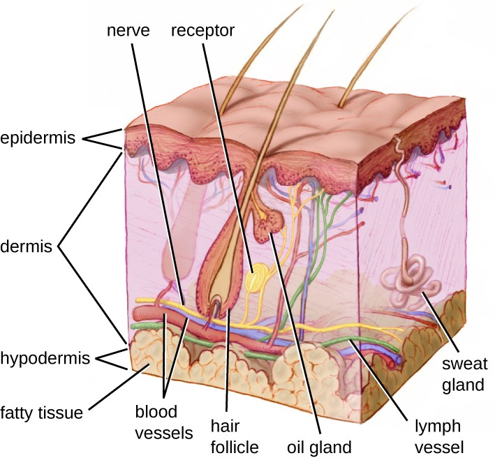 Human skin has three layers, the epidermis, the dermis, and the hypodermis, which provide a thick barrier between microbes outside the body and deeper tissues. Dead skin cells on the surface of the epidermis are continually shed, taking with them microbes on the skin's surface.