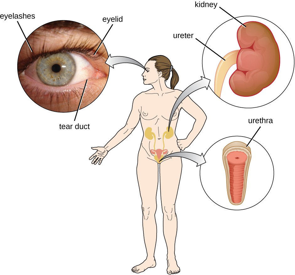 Tears flush microbes away from the surface of the eye. Urine washes microbes out of the urinary tract as it passes through; as a result, the urinary system is normally sterile.