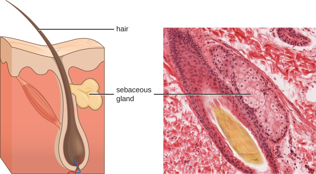 Sebaceous glands secrete sebum, a chemical mediator that lubricates and protect the skin from invading microbes. Sebum is also a food source for resident microbes that produce oleic acid, an exogenously produced mediator.