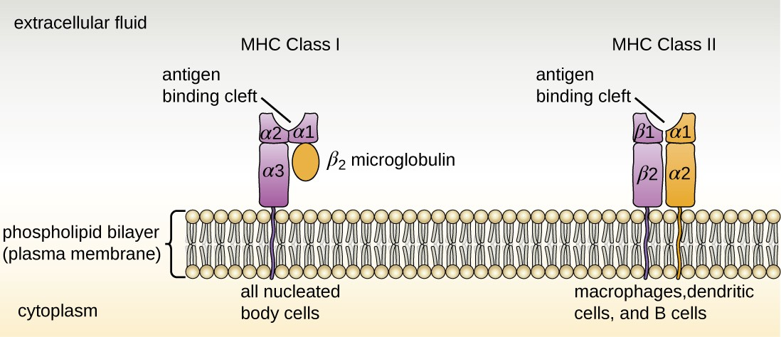 MHC I are found on all nucleated body cells, and MHC II are found on macrophages, dendritic cells, and B cells (along with MHC I). The antigen-binding cleft of MHC I is formed by domains α1 and α2. The antigen- binding cleft of MHC II is formed by domains α1 and β1.