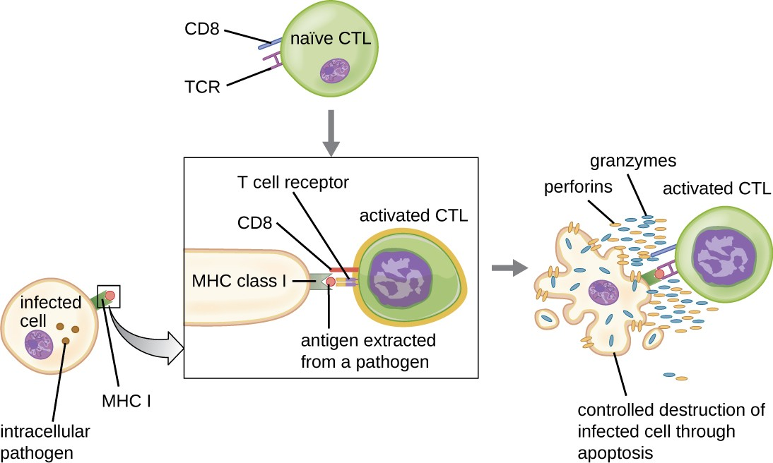 This figure illustrates the activation of a naïve (unactivated) cytotoxic T cell (CTL) by an antigen- presenting MHC I molecule on an infected body cell. Once activated, the CTL releases perforin and granzymes that invade the infected cell and induce controlled cell death, or apoptosis.