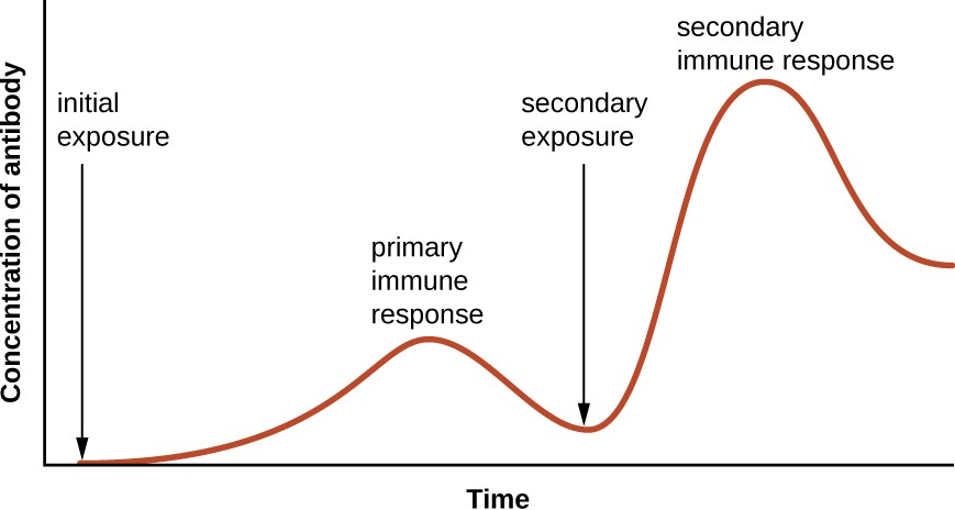 This graph illustrates the primary and secondary immune responses related to antibody production after an initial and secondary exposure to an antigen. Notice that the secondary response is faster and provides a much higher concentration of antibody.