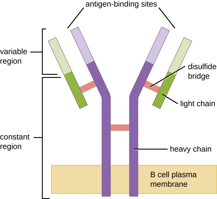B-cell receptors are embedded in the membranes of B cells. The variable regions of all of the receptors on a single cell bind the same specific antigen.
