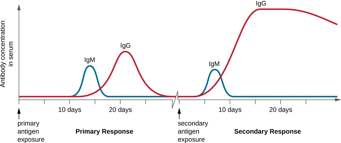 Compared to the primary response, the secondary antibody response occurs more quickly and produces antibody levels that are higher and more sustained. The secondary response mostly involves IgG.