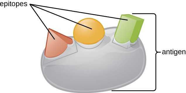 An antigen is a macromolecule that reacts with components of the immune system. A given antigen may contain several motifs that are recognized by immune cells.
