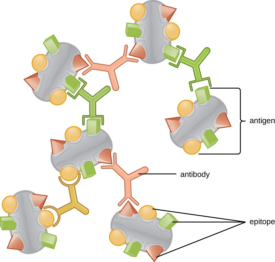 A typical protein antigen has multiple epitopes, shown by the ability of three different antibodies to bind to different epitopes of the same antigen.
