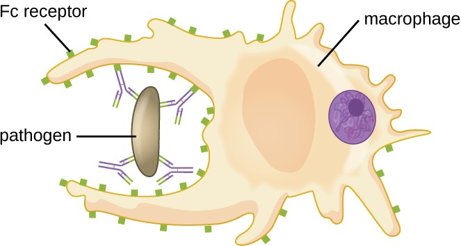 Antibodies serve as opsonins and inhibit infection by tagging pathogens for destruction by macrophages, dendritic cells, and neutrophils. These phagocytic cells use Fc receptors to bind to IgG-opsonized pathogens and initiate the first step of attachment before phagocytosis.