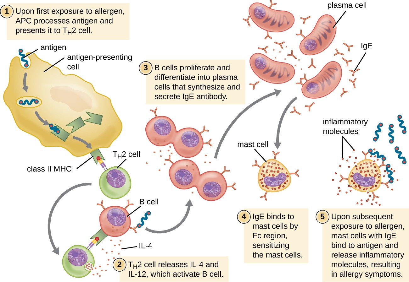 On first exposure to an allergen in a susceptible individual, antigen-presenting cells process and present allergen epitopes with major histocompatibility complex (MHC) II to T helper cells. B cells also process and present the same allergen epitope to TH2 cells, which release cytokines IL-4 and IL-13 to stimulate proliferation and differentiation into IgE-secreting plasma cells. The IgE molecules bind to mast cells with their Fc region, sensitizing the mast cells for activation with subsequent exposure to the allergen. With each subsequent exposure, the allergen cross-links IgE molecules on the mast cells, activating the mast cells and causing the release of preformed chemical mediators from granules (degranulation), as well as newly formed chemical mediators that collectively cause the signs and symptoms of type I hypersensitivity reactions.