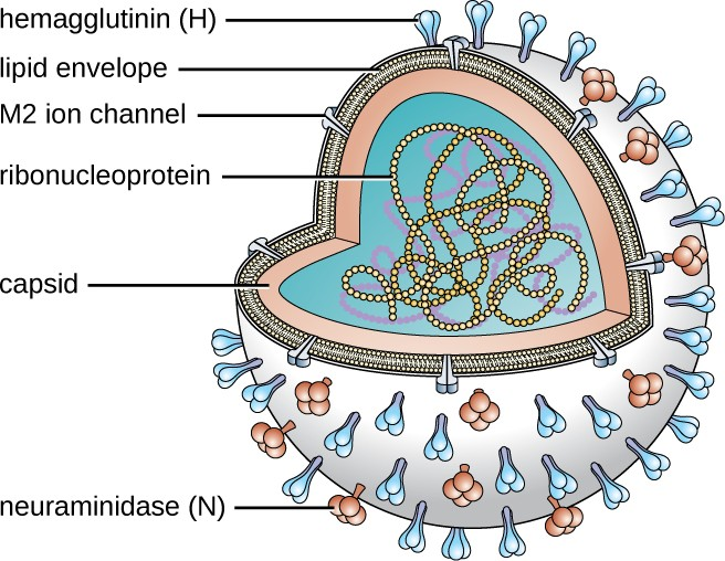 The illustration shows the structure of an influenza virus. The viral envelope is studded with copies of the proteins neuraminidase and hemagglutinin, and surrounds the individual seven or eight RNA genome segments.