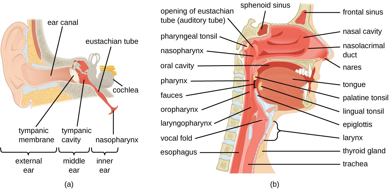 (a) The ear is connected to the upper respiratory tract by the eustachian tube, which opens to the nasopharynx. (b) The structures of the upper respiratory tract.