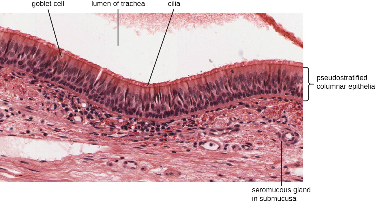 This micrograph shows the structure of the mucous membrane of the respiratory tract.