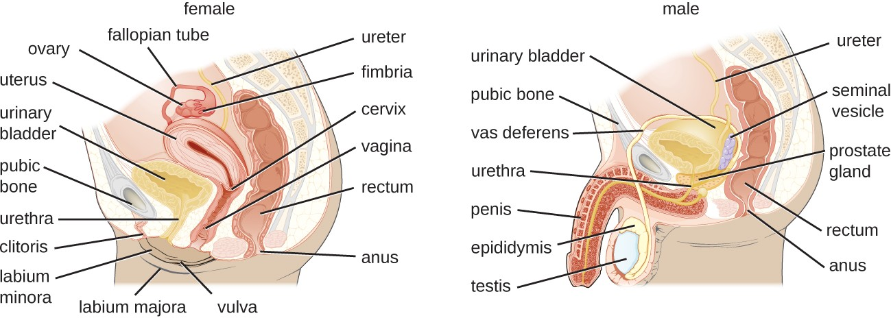 The female reproductive system is located in close proximity to the urinary system. In males, the urethra is shared by the reproductive and urinary systems.