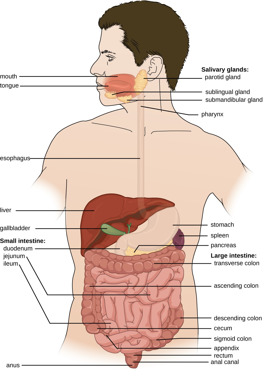 The digestive system, or the gastrointestinal tract, includes all of the organs associated with the digestion of food.