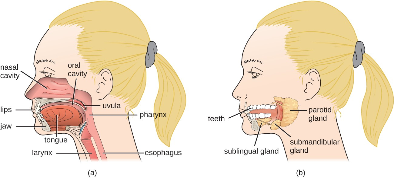 (a) When food enters the mouth, digestion begins. (b) Salivary glands are accessory digestive organs.