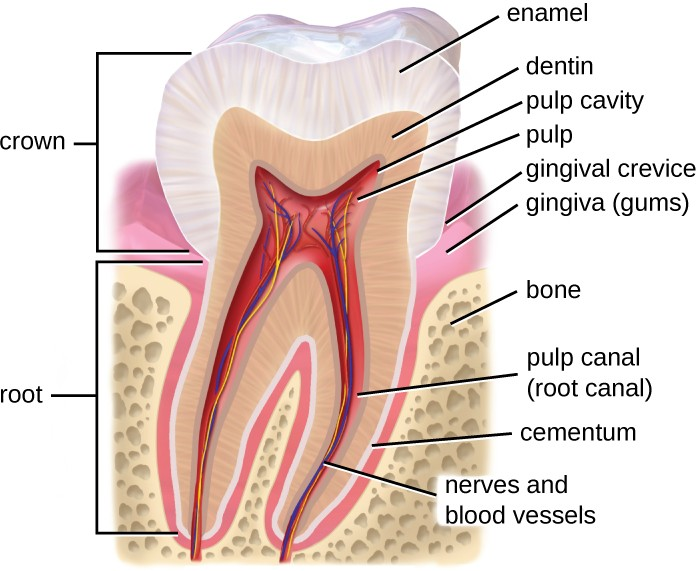 The tooth has a visible crown with an outer layer of enamel, a layer of dentin, and an inner pulp. The root, hidden by the gums, contains the pulp canal (root canal).