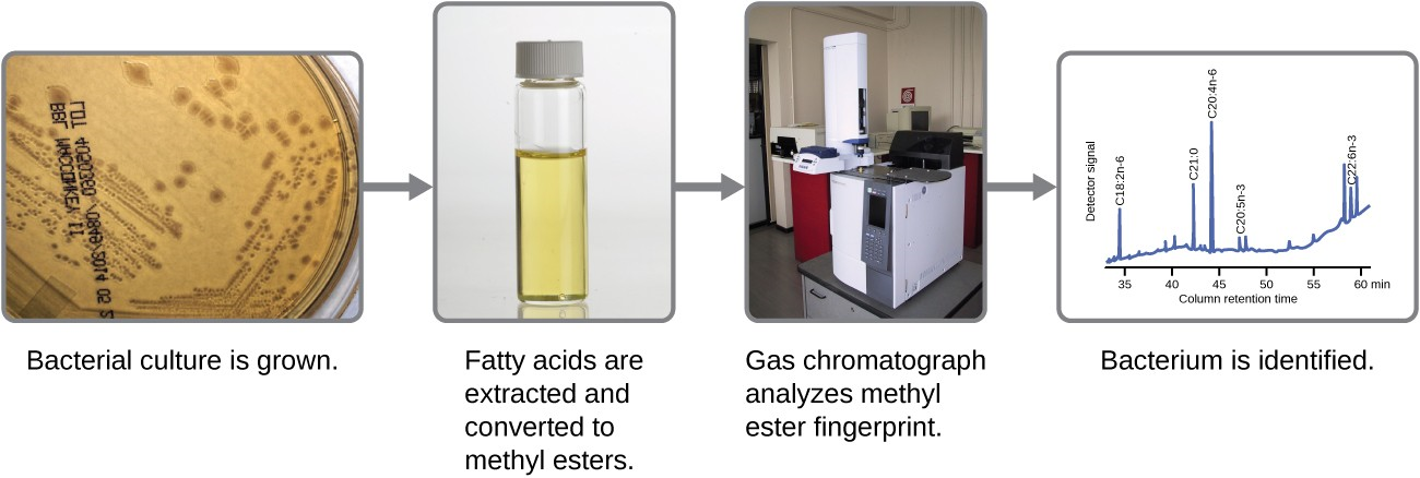 Fatty acid methyl ester (FAME) analysis in bacterial identification results in a chromatogram unique to each bacterium. Each peak in the gas chromatogram corresponds to a particular fatty acid methyl ester and its height is proportional to the amount present in the cell.