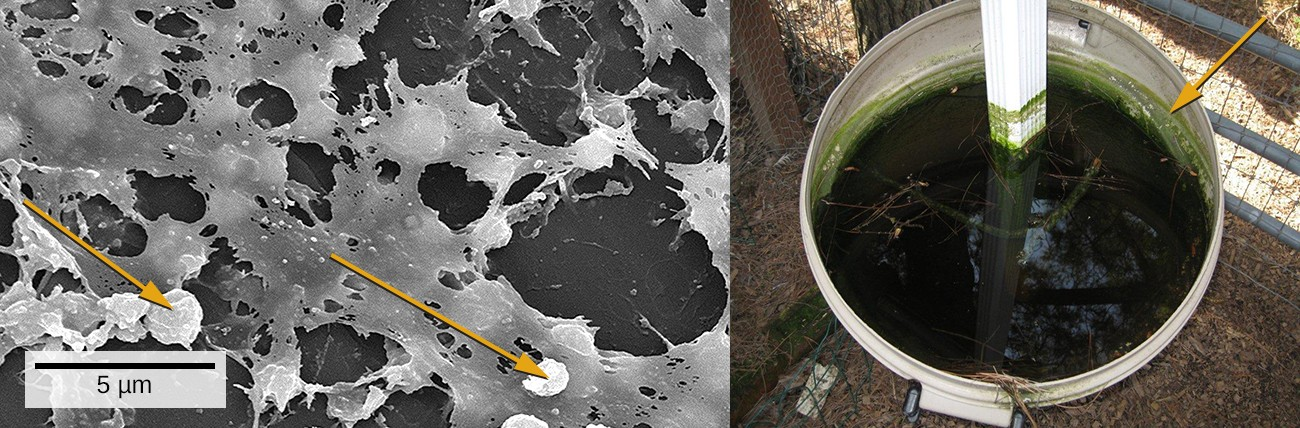 Medical devices that are inserted into a patient's body often become contaminated with a thin biofilm of microorganisms enmeshed in the sticky material they secrete. The electron micrograph (left) shows the inside walls of an in-dwelling catheter. Arrows point to the round cells of Staphylococcus aureus bacteria attached to the layers of extracellular substrate. The garbage can (right) served as a rain collector. The arrow points to a green biofilm on the sides of the container.
