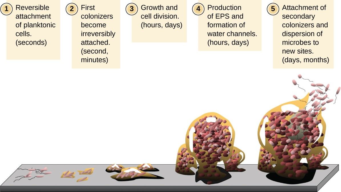 Stages in the formation and life cycle of a biofilm.