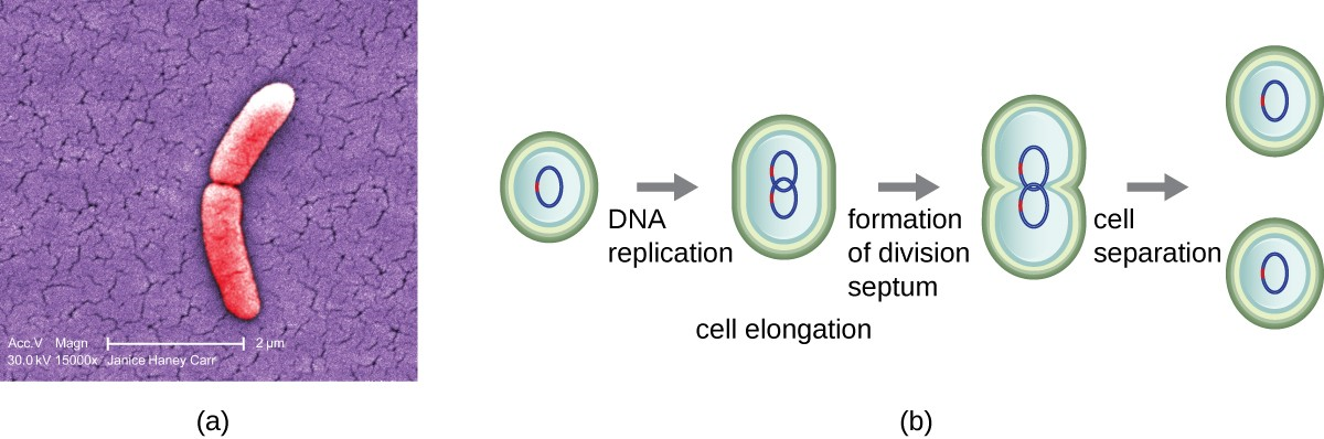(a) The electron micrograph depicts two cells of Salmonella typhimurium after a binary fission event. (b) Binary fission in bacteria starts with the replication of DNA as the cell elongates. A division septum forms in the center of the cell. Two daughter cells of similar size form and separate, each receiving a copy of the original chromosome.
