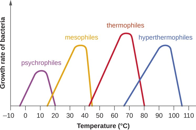 The graph shows growth rate of bacteria as a function of temperature. Notice that the curves are skewed toward the optimum temperature. The skewing of the growth curve is thought to reflect the rapid denaturation of proteins as the temperature rises past the optimum for growth of the microorganism.