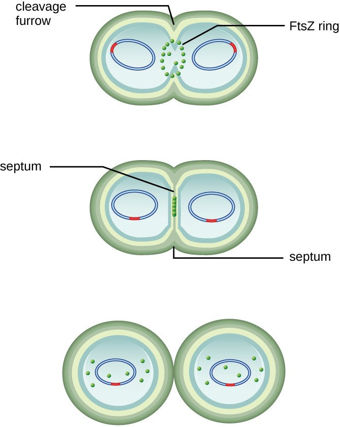 FtsZ proteins assemble to form a Z ring that is anchored to the plasma membrane. The Z ring pinches the cell envelope to separate the cytoplasm of the new cells.