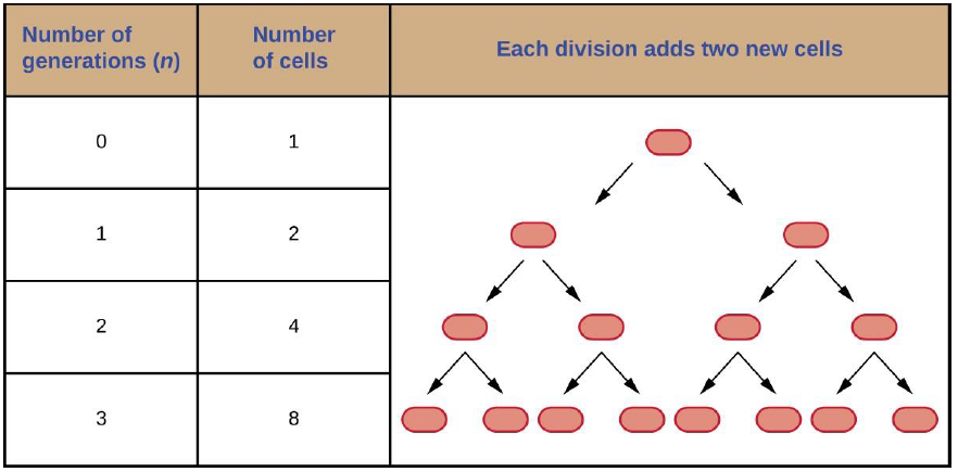The parental cell divides and gives rise to two daughter cells. Each of the daughter cells, in turn, divides, giving a total of four cells in the second generation and eight cells in the third generation. Each division doubles the number of cells.