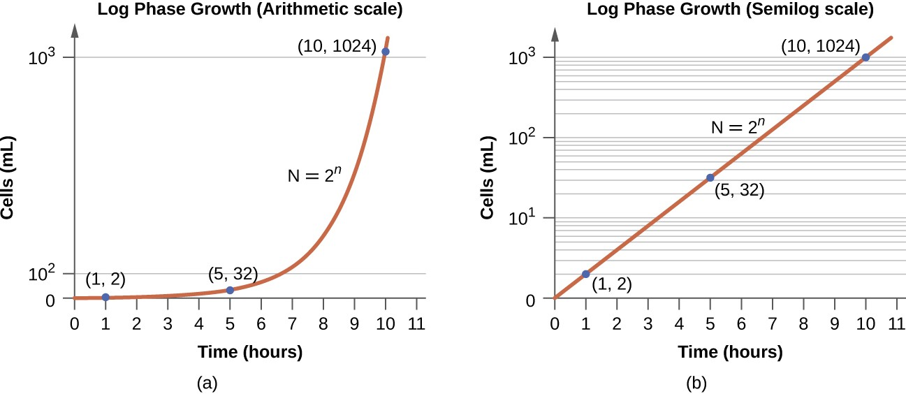 Both graphs illustrate population growth during the log phase for a bacterial sample with an initial population of one cell and a doubling time of 1 hour. (a) When plotted on an arithmetic scale, the growth rate resembles a curve. (b) When plotted on a semilogarithmic scale (meaning the values on the y-axis are logarithmic), the growth rate appears linear.